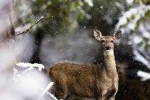 November Most Hazardous Month for Deer Strikes