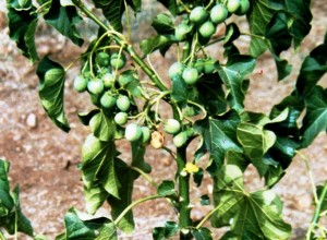 The goal of the project is to demonstrate that jatropha can produce significant quantities of oil for conversion to biodiesel.